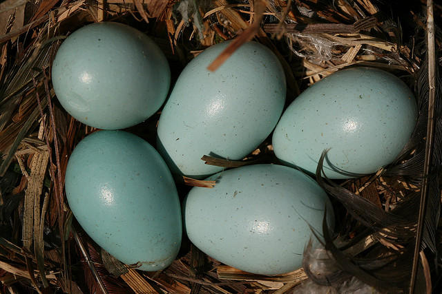 European Starling eggs.